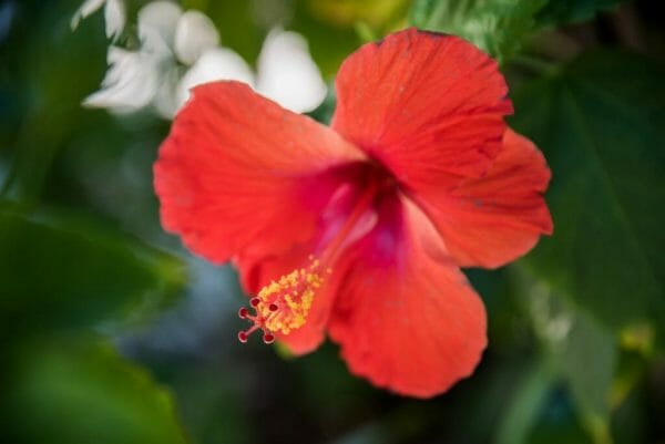 Red hibiscus in Florida