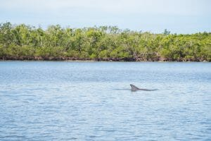 Dolphins in Marco Island