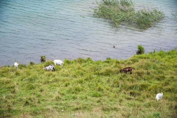 Goats by Hintersteiner See