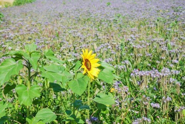 Wildflower fields in Altenmarkt, Germany