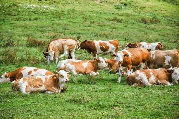 Group of cows in the Alps