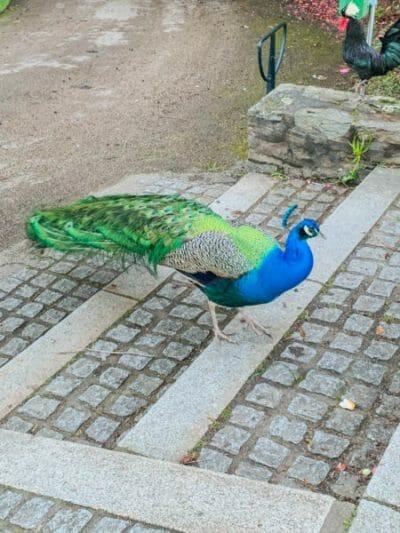 Peacock by Château de la Gobinière
