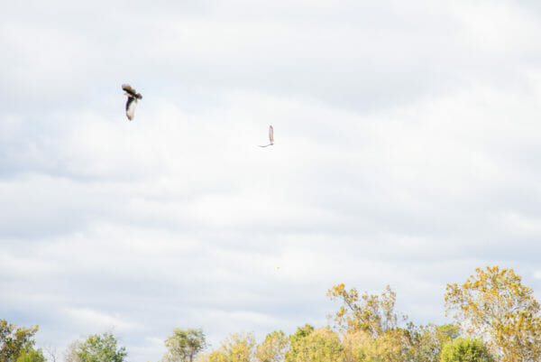 Bald eagles flying