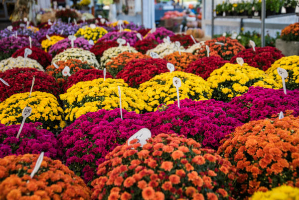 Mums in fall colors