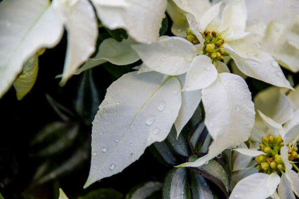 White poinsettia with raindrops
