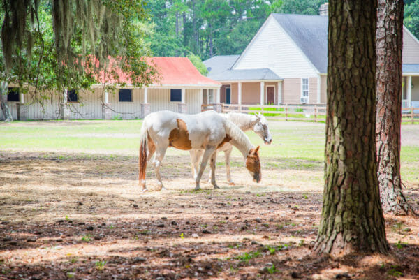 Brown and white horse and white horse on farm on Daufuskie Island