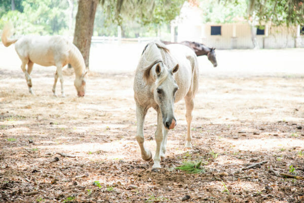 Two white horses and brown house on farm on Daufuskie Island