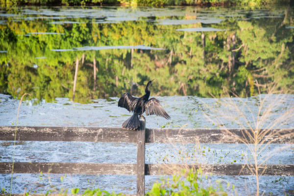 Black bird with wings outstretched on fence by water