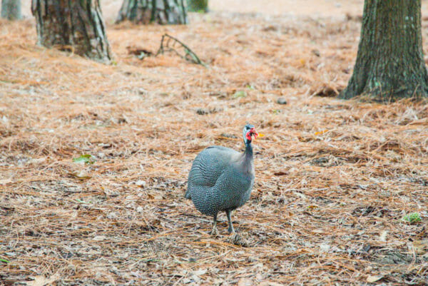 Guineafowl on Daufuskie Island Community Farm