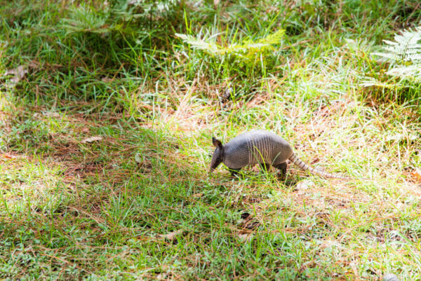 Wild armadillo on grass on Daufuskie Island