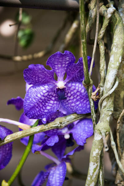 Dark purple orchids with brown vines