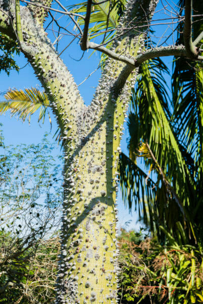 Palm tree with grey spikes covering trunk