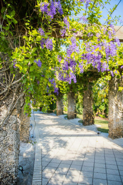 Vines of purple flowers on stone arch walkway at Naples Botanical Gardens