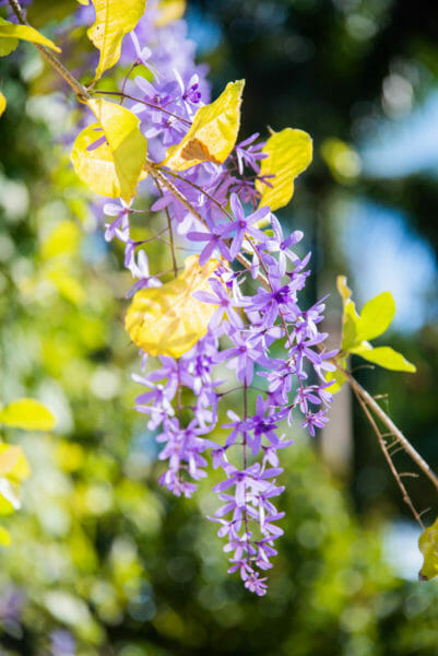Group of small purple flowers on a vine