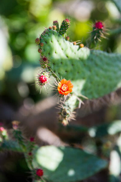Cactus with small orange and pink flowers at Naples Botanical Gardens