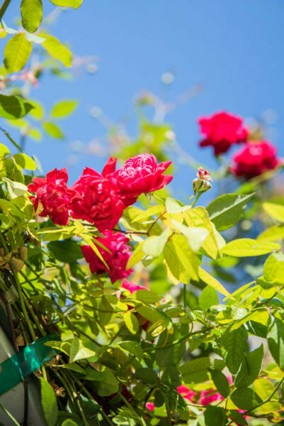 Bright pink roses on a vine against a blue sky at Naples Botanical Gardens
