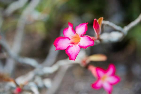 Pink flower with dark petal tips