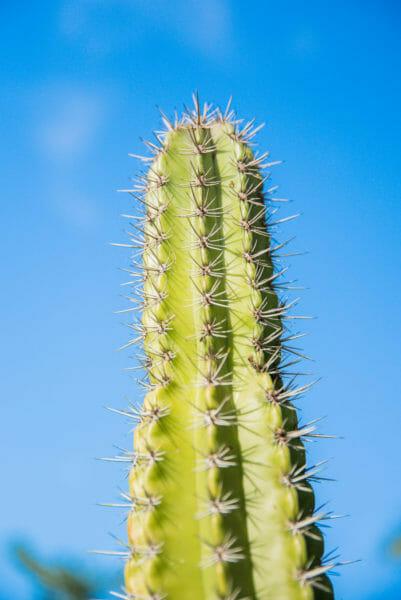 Tall green cactus against light blue sky