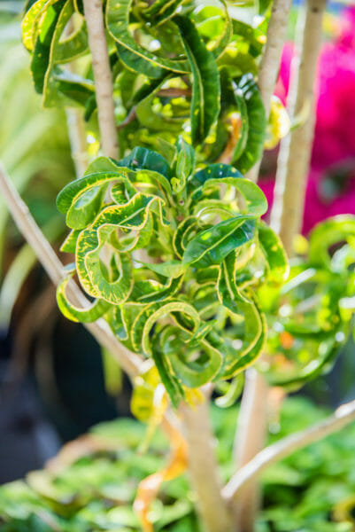 Thin curly green leaves