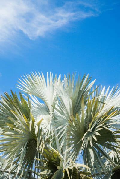 Light green palm fronds against a blue sky at Naples Botanical Gardens