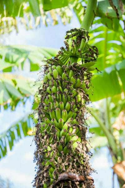 Small green bananas growing on a tree