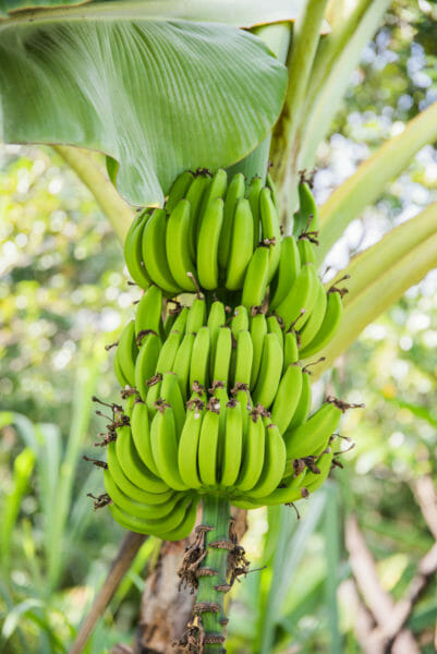 Large green bananas growing on a tree