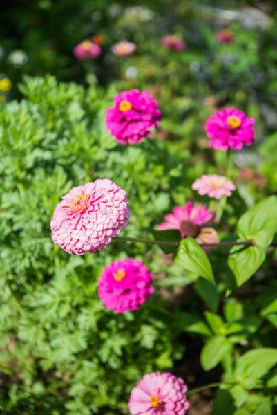 Pink zinnias growing at Naples Botanical Gardens
