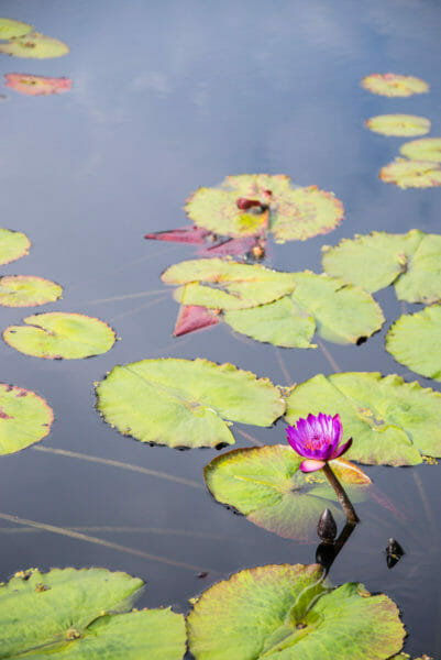 Purple lily pad flower in a pond