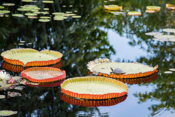 Turtle on top of large lily pad