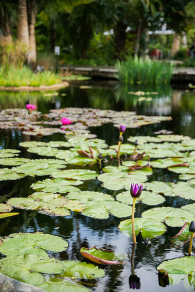 Purple flowers growing in lily pads on a pond