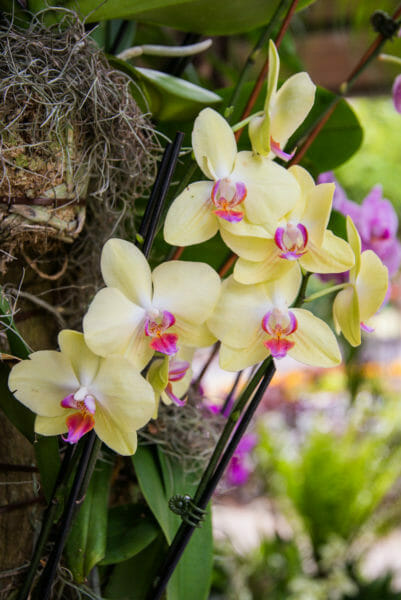 Yellow orchids with purple centers