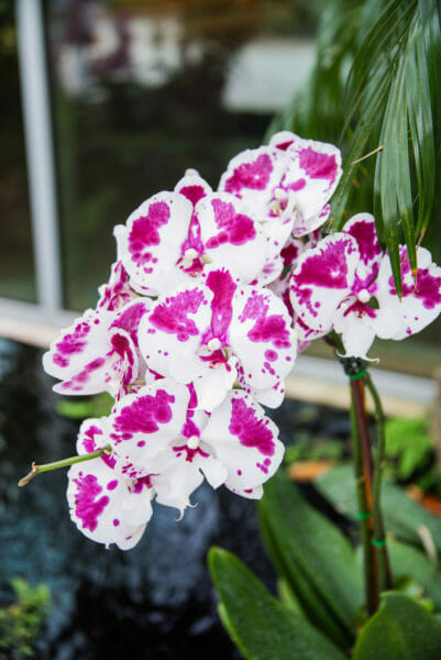White orchids with large dark purple spots