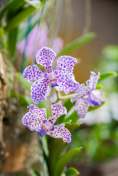 Purple spotted orchids at Naples Botanical Gardens