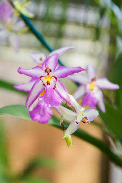 Purple and white orchids with yellow centers