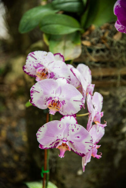 White orchids with purple edges