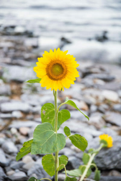 Sunflower growing through rocks by lake
