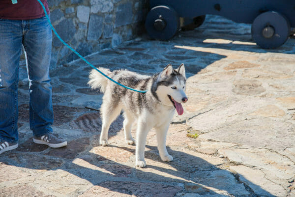 Siberian Husky at Fort Ticonderoga