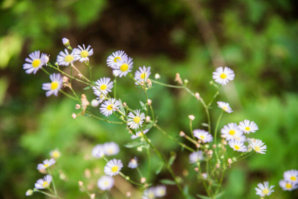 Small daisies at Point au Roche State Park in Plattsburgh, NY