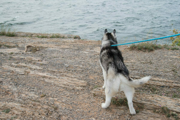 Siberian Husky at Point au Roche State Park in Plattsburgh, NY