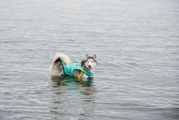 Siberian Husky swimming in Lake Champlain