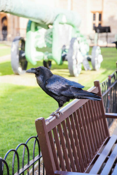 Raven perched on the back of a bench