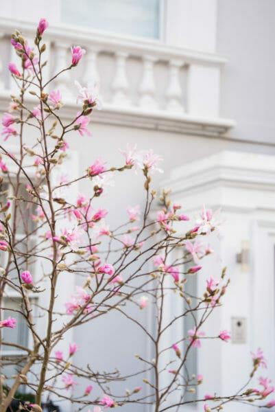 Pink magnolia flowers beginning to bloom