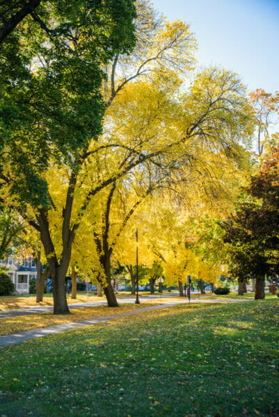 Trees with yellow leaves in Grand Rapids, MI