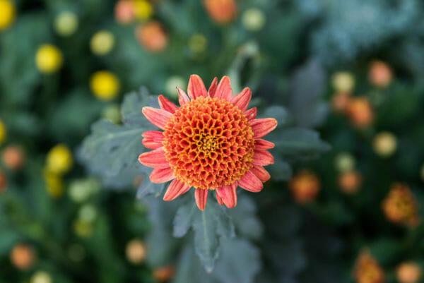 Orange and pink flower