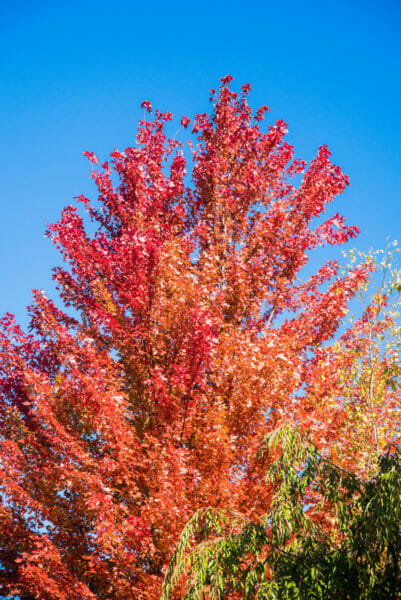 Tree with red and orange leaves against a blue sky at Meijer Gardens