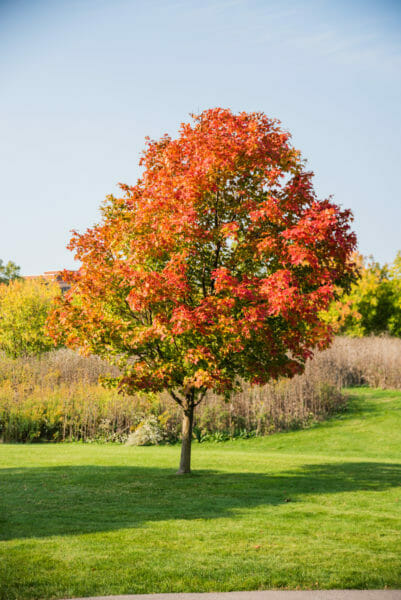 Tree with red and orange leaves