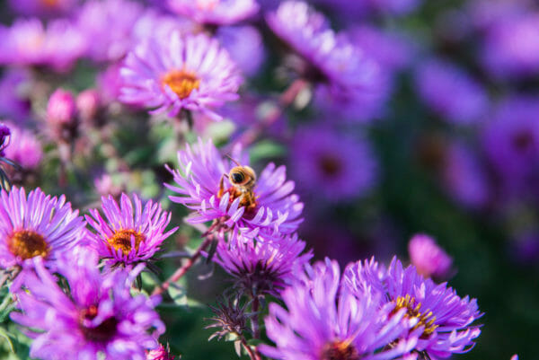 Purple flowers with a bumblebee